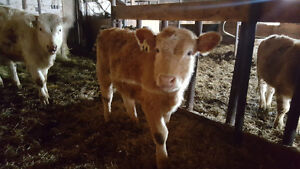 8 to 9 Month old Female Calves for sale