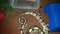 Ball Python needs a new home. Will include enclosure/supplies
