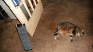 Free Cat to a great home need to rehome asap Stratford Kitchener Area image 4