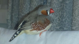 Zebra Finch for rehoming with cage and supplies