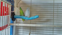Parrotlet for Sale