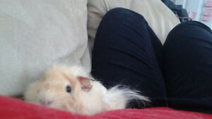 2 friendly Male Guniea Pigs need a forever home!