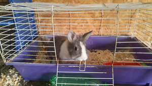 Female lionhead and cage