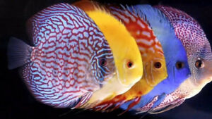 WANTED TO BUY:  Good size discus fish