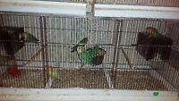 2 canaries or 2 love birds