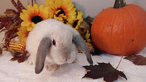 Adorable Holland lop bunnies Kitchener / Waterloo Kitchener Area image 6