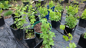 Hops plants to sell or trade