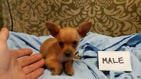 MALE CHIHUAHUA  TEACUP   READY MAY 25