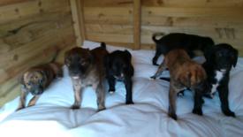 Lurcher puppy's for sale