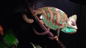 Male Veiled Chameleon *Everything Included*