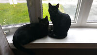 2 Beautiful Brother &  Sister Black Cats For Free.