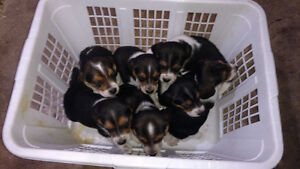Beagle pups for sale.sold pending pick up.