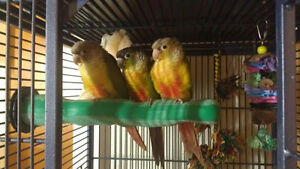 Green Cheek pineapple Conure Yellow Side