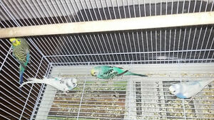 Budgies and Flight Cage