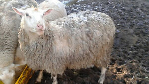 Female mixed sheeps for sale #NEW PRICE#