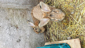 Baby and adult Flemish giant rabbits