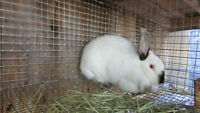 Female rabbits (purebred and mix)