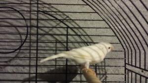 Canari male blanc