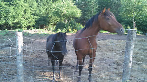 3 Year Old Gelding, 3 Year Old Pony for Sale