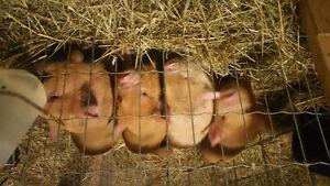 Kunekune pigs Belleville Belleville Area image 8