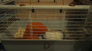 GuineaPig WIth Cage And everything