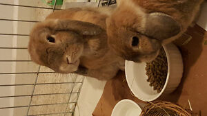 ready sunday! 2 extremely cute lop ear bunnies need a good home