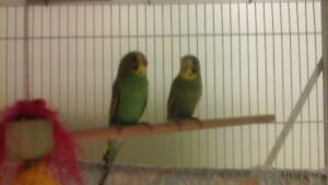 Tame Birds for sale