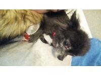 black longhaired chihuhua