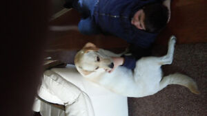 Wanted Male yellow lab