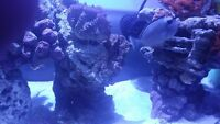 Saltwater Naso Tang For Sale or Trade