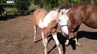 Registered Tri-Colored APHA Filly