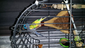 Female yellow budgie looking for new home