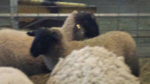 Lambs for sale in Wainfleet