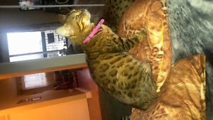 Belle chatte bengal 4 ans