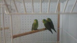 Hand tamed baby parrotlets for sale as pets.