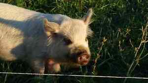 Pet Kunekune Barrow Belleville Belleville Area image 1
