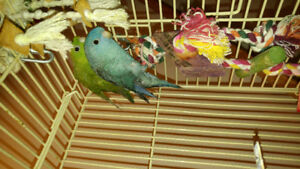Breeder pair of Linnies for sale with cage, plus extras.