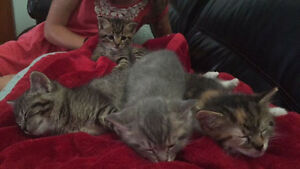 KITTENS FOR SALE, ALL FEMALE, 2 TABBIES AND 1 CALICO