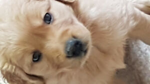 Golden Retriever puppies(SOLD)