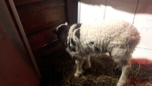 Ram lambs buy 2 get the third for $100