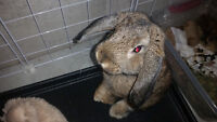 Holland Lop Bunny - Male
