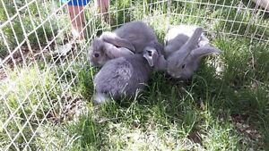 French lop cross