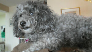 Dog sitting/Boarding (only small) very loving caregiver - Okvill