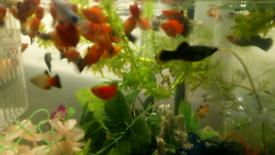 Guppys,platys,pleco,tretas,molly,goldfish,betta,pacu,cichlids