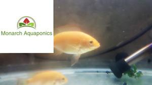Poisson Tilapia à vendre | Fry / Fingerling | Expédition au Cana