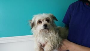 ADOPTABLE HAVANESE CROSS OR CO. OF 40 VISIT THE CARES SHELTER!!