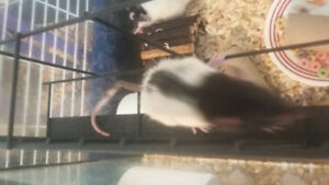 Male fancy rats  2 months old.
