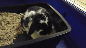 Spayed female holland lop
