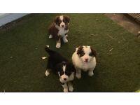 Border collie pups 2 brown & white and 1 tri colour