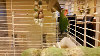 2 very beautiful love birds with cage
